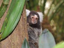 刷子猴子面孔 免版税库存图片