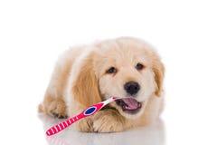 刷他的牙的金毛猎犬看起来平直的o 免版税库存照片