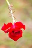 刺包裹红色玫瑰 免版税库存图片