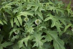 刺头属ritro植物 免版税库存照片