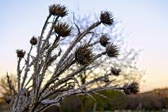 刺或一棵干燥植物从秀丽不一定是豁免 免版税库存图片
