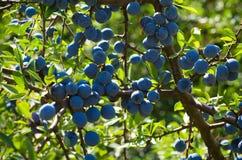 黑刺李莓果 库存图片