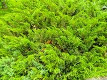 刺柏树丛在公园 库存图片
