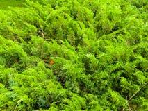 刺柏树丛在公园 免版税库存图片