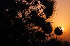 刺灌木日出和剪影  免版税库存照片