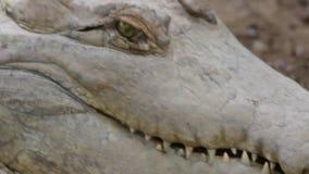 刺的鳄鱼发出嘘声和 影视素材