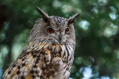 刺穿的神色猫头鹰 听声音 库存照片