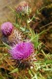刺花。植物名 免版税库存照片