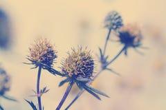 刺芹属植物amethystinum 免版税库存照片