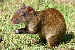 刺豚鼠墨西哥 库存照片