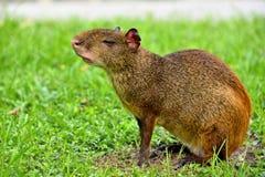 刺豚鼠美国中央 免版税图库摄影