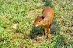 刺豚鼠美国中央 免版税库存照片