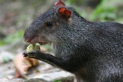 刺豚鼠 图库摄影