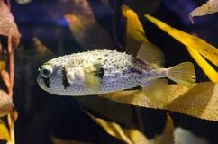 刺顿鱼 免版税图库摄影