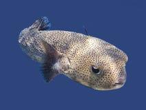 刺顿鱼 库存图片