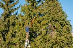 削减一棵高杉树的分支的与切削刀饰物的花匠 库存图片