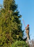 削减一棵高杉树的分支的与切削刀饰物的花匠 库存照片