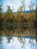 前个玉米在被收获的领域边缘抽去  免版税库存图片