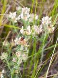 前列腺黄雀色三叶草和方格的甲虫 免版税图库摄影