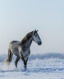 前安达卢西亚的灰色马在自由走 库存照片