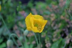 前景的黄色植物 免版税图库摄影
