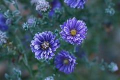 前朵雏菊在树冰开花在一冷的天 库存图片