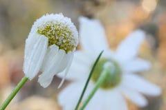 前朵雏菊在树冰开花在一冷的天 库存照片