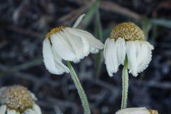 前朵雏菊在树冰开花在一冷的天 免版税库存照片