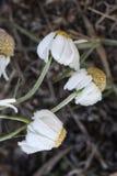 前朵雏菊在树冰开花在一冷的天 图库摄影