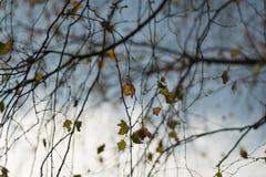 前片桦树叶子 免版税库存图片