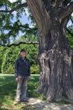 前辈在一棵巨大的银杏biloba树下 库存图片