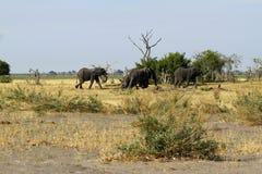 前进在平原的非洲大象 库存图片
