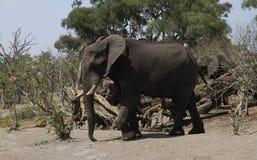 前进在平原的非洲大象 库存照片