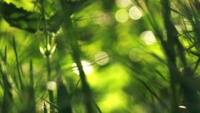 继续前进在早晨关闭的新鲜的绿色春天草坪草微风,明亮的充满活力的自然季节背景 股票录像