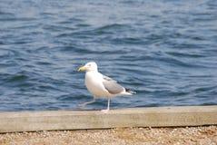 前进在江边的海鸥 免版税库存图片