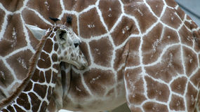 前长颈鹿他的母亲年轻人 库存图片