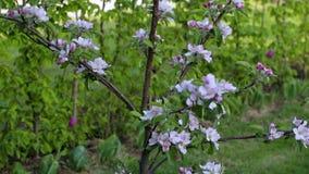 前院美丽的景色私有庭院 在背景的华美的桃红色和白色开花的苹果树