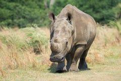 前面对幼小犀牛 免版税图库摄影