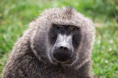 前面特写镜头观点的与不同地色的眼睛的一个狒狒在马赛马拉国家公园(肯尼亚) 免版税库存图片