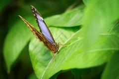从前面的Morpho peleides 蓝色蝴蝶宏观细节从正面图的 库存图片