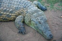 前面身体部位非洲鳄鱼的 免版税库存照片