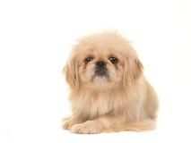 从前面说谎看见的白肤金发的成人西藏西班牙猎狗狗在面对照相机的地板上 免版税库存照片