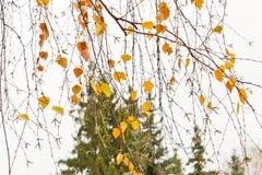 前黄色在桦树分支离开在11月下旬 库存图片