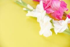 剑兰花桃红色和白色在黄色背景 库存图片