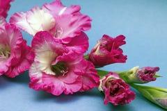 剑兰,特写镜头美丽的花  库存图片