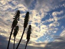 剑叶兰开花在考艾岛海岛上的Waimea的剑叶兰厂在夏威夷 库存照片