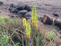 剑叶兰开花在考艾岛海岛上的Waimea的剑叶兰厂在夏威夷 免版税库存照片