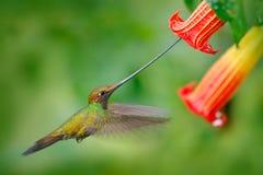 剑开帐单的蜂鸟, Ensifera ensifera,在美丽的橙色花,与最长的票据的鸟旁边的飞行,在自然森林栖所, 免版税库存照片