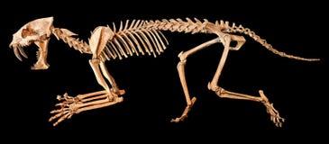 剑齿虎Hoplophoneus primaevus骨骼 被隔绝的背景 免版税库存照片