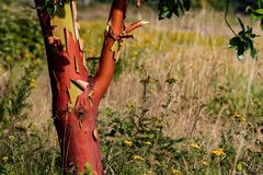 剥与红色核心的石南在一个象草的领域 免版税库存图片